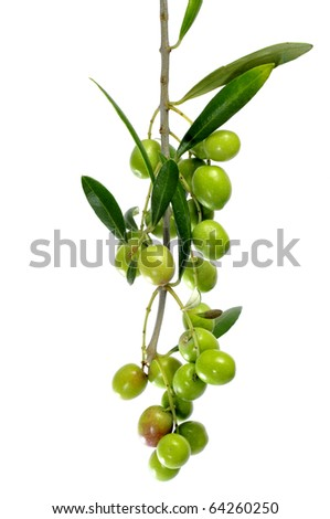 an olive tree branch isolated on a white background - stock photo