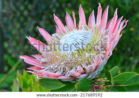 An open pink King protea flower plant (Cynaroides). It is the National Flower of South Africa, in bloom close-up. - stock photo