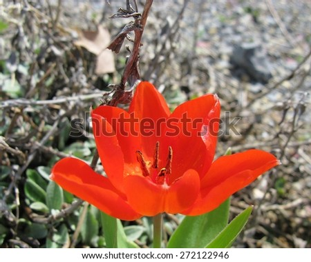 An open red flowering tulip in spring  - stock photo