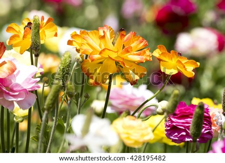 An orange and yellow buttercup flower framed against a background of colorful buds and greenery. - stock photo