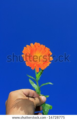 An orange flower (calendula) being held in a hand set against a bright clear blue background. - stock photo