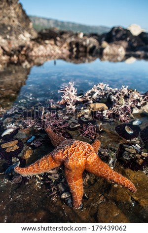 An orange seastar is found in a tide pool at Salt Point State Park in northern California, just north of San Francisco. The seastars are feeding on the plethora of mussels growing in the shallows. - stock photo