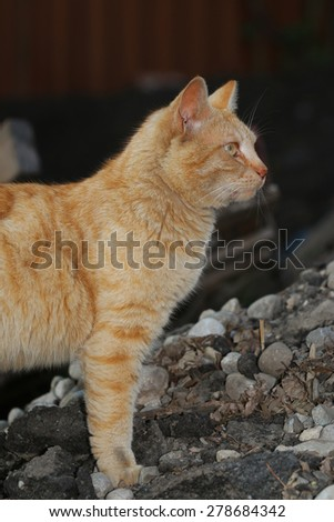 An Orange Tabby Cat Walking Around Looking for a Meal - stock photo