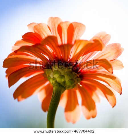 An orange zinnia from below