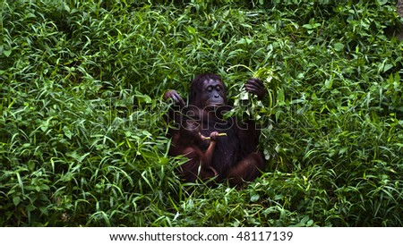 An orangutan mother and baby feeding in high grass