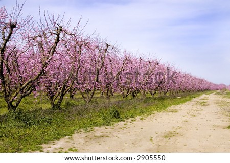An orchard of peach trees in bloom. - stock photo