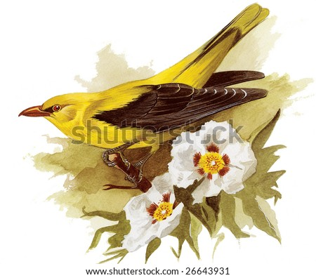 An original watercolor painting (by myself as the artist) of a Golden Oriel bird. - stock photo