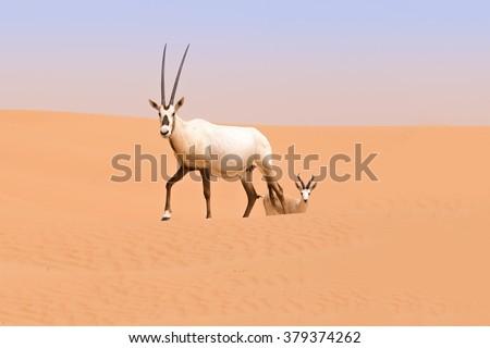 An Oryx and a gazelle roam the dunes of the Dubai Desert Conservation Area, UAE - stock photo