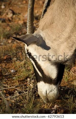 An Oryx feeding - stock photo