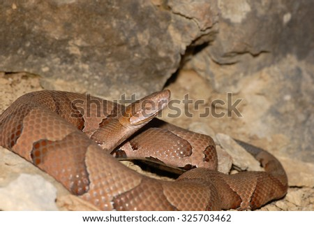 An osage copperhead snake coiled next to a large rock wall.