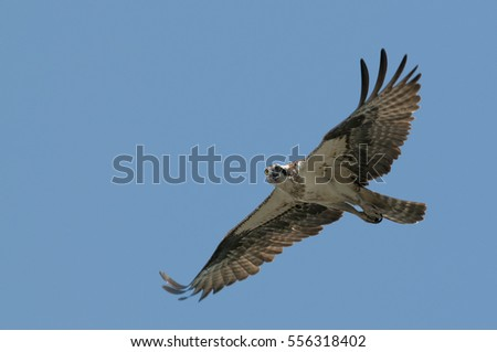 An Osprey flies in front of a bright blue sky with its wings outstretched on a sunny day.
