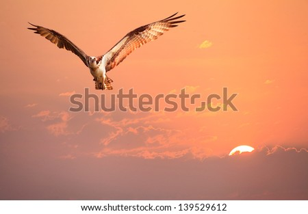 An Osprey Flying in the Early Morning Sunrise Sky - stock photo