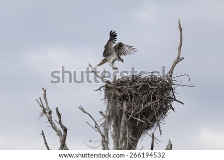 An Osprey, in flight, is returning to the nest in Everglades National Park, Florida. - stock photo