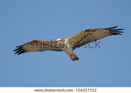 An osprey isolated on the blue sky. - stock photo