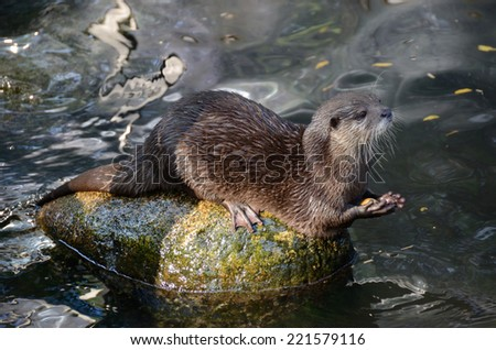An otter sitting on a rock playing with a pebble - stock photo