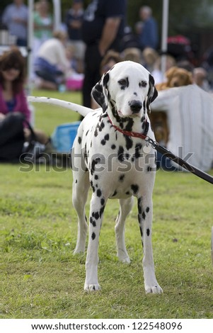 An outdoor photo of a Dalmation dog standing still and facing forward - stock photo