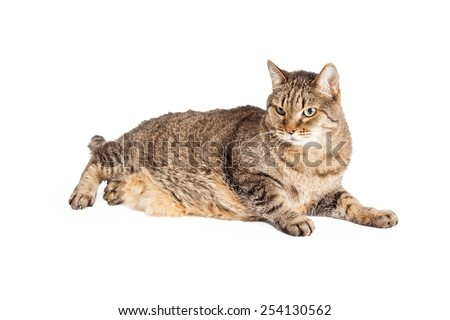 An overweight mixed breed Tabby cat laying while looking off to the side.  - stock photo