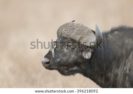 An oxpecker moves in for a bite while perching on a very calm cape buffalo's face.  Oxpeckers pick ticks, mites, larvae and other pests off of large animals and in return, get a nice meal. - stock photo