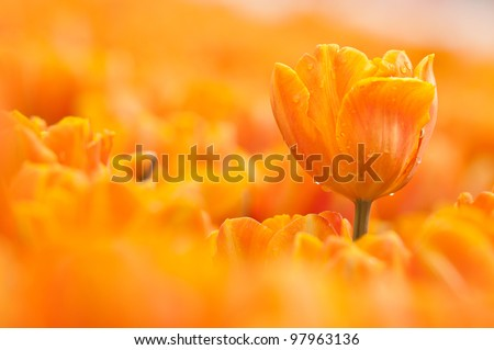 an sharp orange tulip with water drop on the blur one - stock photo