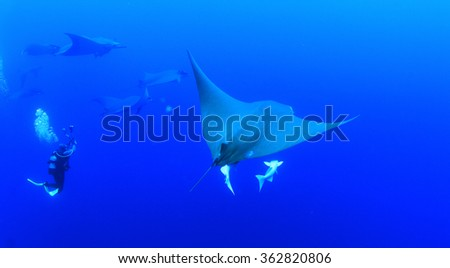 An underwater photographer with manta rays in Azores islands