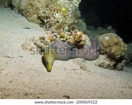 An undulate moray (gymnothorax, muraenidae) on the sand at night - stock photo