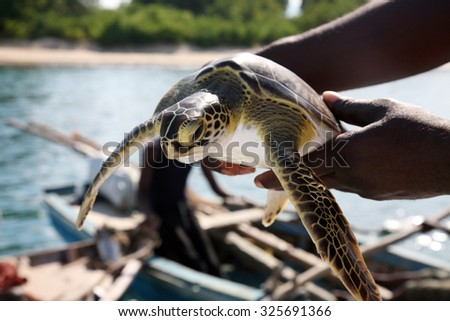 An unidentifiable fisherman holds a Green Sea Turtle he has caught in the warm blue waters of Labadee Haiti. Fisherman catch fish and turtles to sell in the market and to feed their families - stock photo