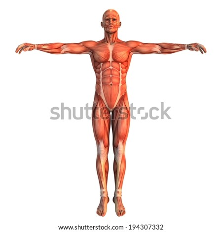 An upright human body, showing the different muscles. - stock photo
