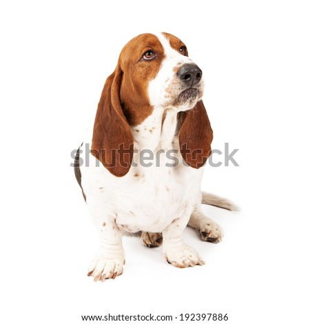An upset Basset Hound dog with a funny look on his face