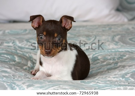 An 8 week old Rat Terrier puppy, with big curious eyes, posing for the camera.