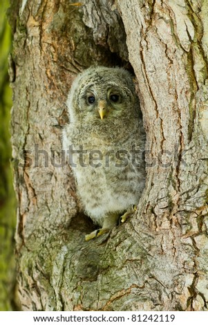 An young Ural Owl - stock photo