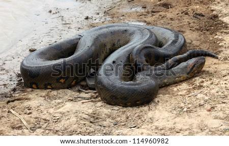 Anaconda, Los Llanos, Venezuela - stock photo