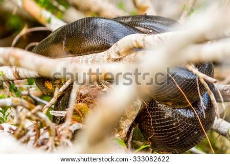 Anaconda Snake Resting On Branches Cuyabeno National Park Ecuador Telephoto Shot - stock photo