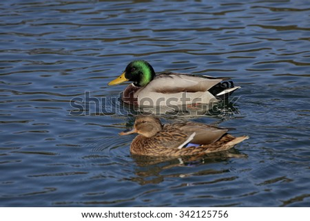 Anas platyrhynchos, Mallard, male duck at the top with female duck on a pond in Germany