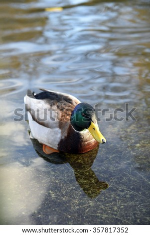 Anas platyrhynchos, Mallard, male duck swimming in the water  - stock photo