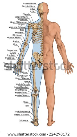 human skeleton posterior view didactic board stock vector, Skeleton
