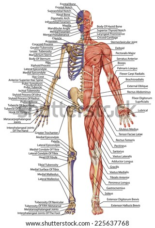 anatomical body human skeleton anatomy human stock illustration, Muscles