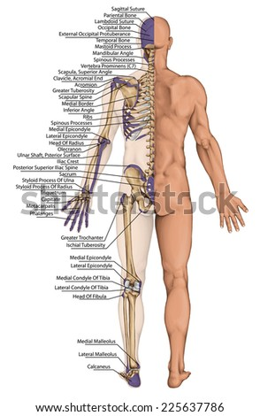 anatomical body, human skeleton, anatomy of human bony system, body surface contour and palpable bony prominences of the trunk and upper and lower limbs, posterior view, full body - stock photo