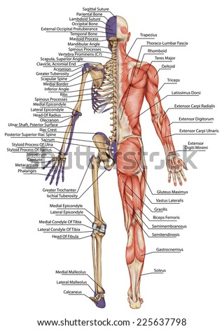 Anatomical Body Human Skeleton Anatomy Human Stock Illustration ...