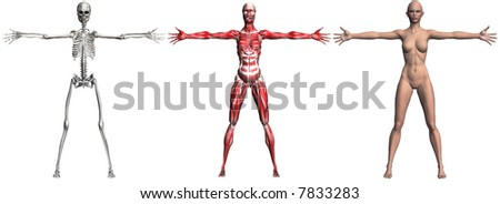 Anatomical illustration of the skeleton and muscles of a human female. 3D render. (NO genitalia or nipples._ - stock photo