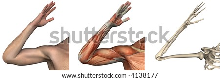 Anatomical Overlays - right arm - these images will line up exactly, and can be used to study anatomy - 3D render - stock photo