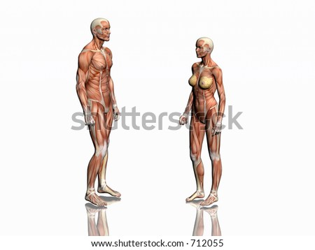 Anatomically correct medical model of the human body, man and woman with muscles showing.  3D illustration, render over white. Man and woman facing each other.