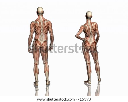 Anatomically correct medical model of the human body, man and women, muscles and ligaments showing transparent and skeleton projected into the body. 3D illustration over white. Back view.