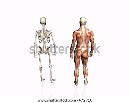 Anatomically correct medical model of the human body, muscular man with skeleton.