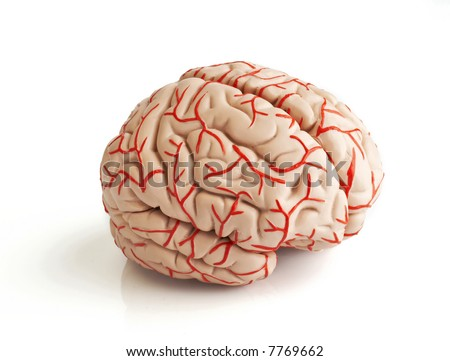 anatomically correct rubber model of the human brain - stock photo