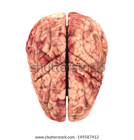 Anatomy Brain - Top View Isolated on White