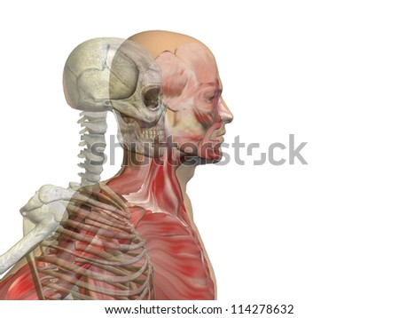 Anatomy concept or conceptual human or man body chest,head isolated on background as a metaphor for medical,science,health,male,biology,medicine,bone,anatomical,muscular,system,face,cranium and spine - stock photo