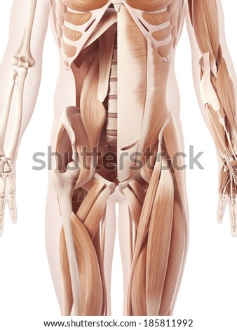 anatomy illustration showing the abdominal muscles - stock photo