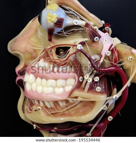 Mouth Anatomy Stock Images, Royalty-Free Images & Vectors ...