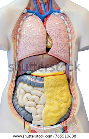 Anatomy Model Internal Organs Human Body Stock Photo (Royalty Free ...