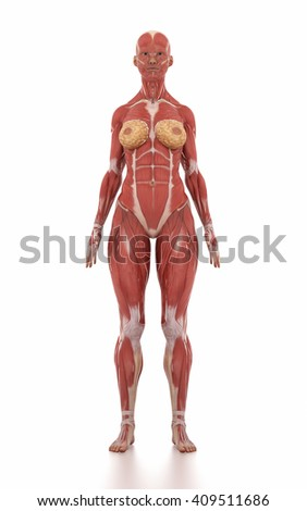 Anatomy muscle map white isolated - stock photo